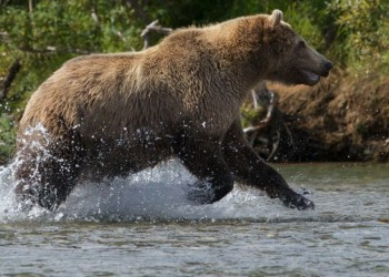 Filming Alaskan Brown Bears with the Canon C100